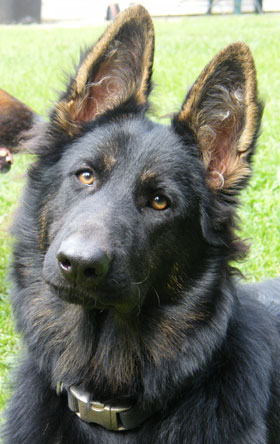 Hanabrit German Shepherds - Dora german shepherd